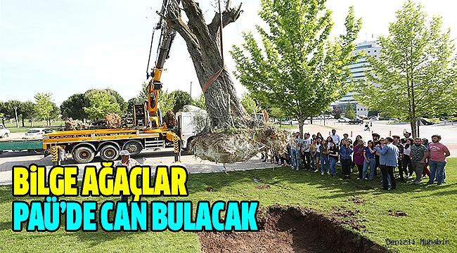 On Üç Adet Anıt Zeytin Ağacı PAÜ'de korunacak