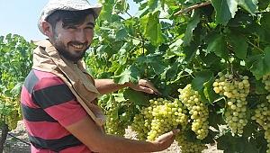 Buldan'da Sultaniye üzüm hasatına başlandı