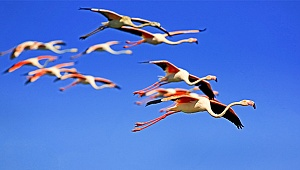 Acıgöl'de flamingoların görsel şöleni