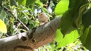Nadir rastlanan 'beyaz ağaç serçesi' Çameli'de görüldü