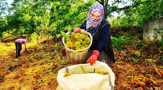 Buldan'da 810 dekarda kestane hasadı devam ediyor