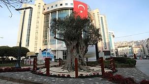 İzmir'in 600 yıllık zeytin ağacı İzmit'te yaşatılacak
