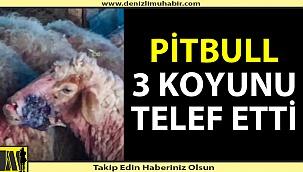Pitbull 3 koyunu telef etti, 12'sini yaraladı